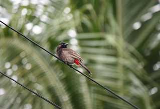 Red-vented Bulbul | by Benjamin Keen