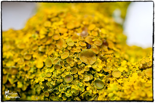Lichen 'xanthoria' on a branch near the Grantham Canal at Redmile | by MacLeanPhotographic