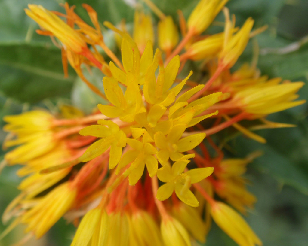 Tiny Yellow Flowers Carthamus Tinctorius Asteraceae Flickr