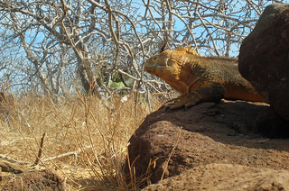 Land iguana | by Zephyr7