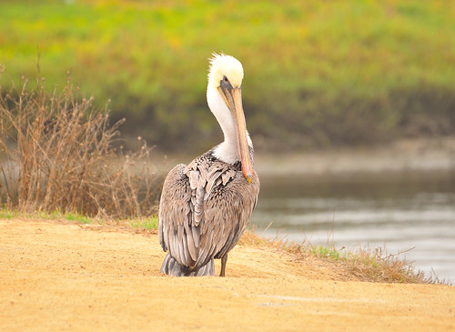 Mr. Brown Pelican | by SandyK29