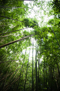 bamboo forest | by ygchan