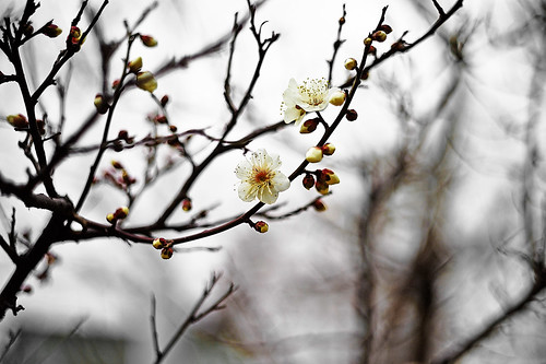 First Blossom | by moaan