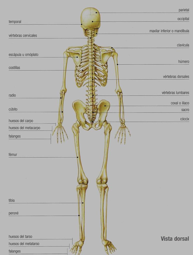 Fantástico Huesos Marcados En Un Esqueleto Elaboración - Anatomía de ...