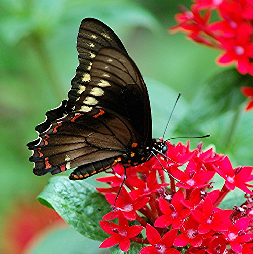 Amazing... Polydamus Swallowtail sitting still on red Pentas | by jungle mama