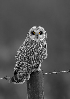 short eared owl | by markoh2011