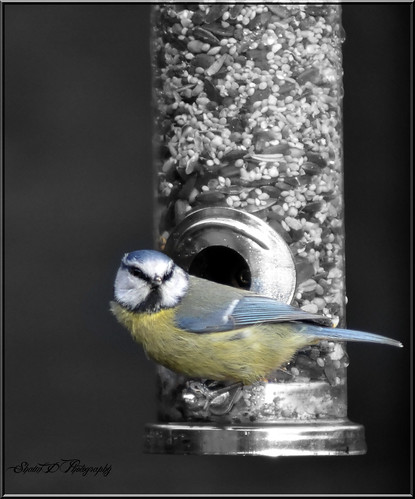 BLUE TIT | by SHAUN'S WILDLIFE PHOTOGRAPHY.