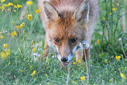 Vixen | by Dan Belton ( No Badger Cull )
