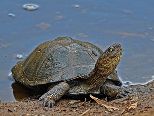 Marsh Terrapin | by cybeR@NGER