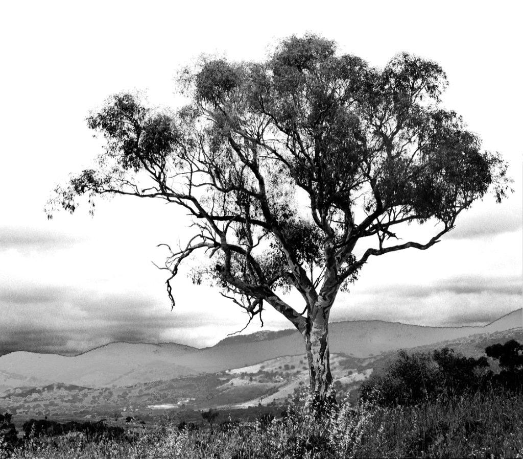 Gumtree in canberra