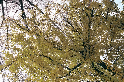 upward gingko tree