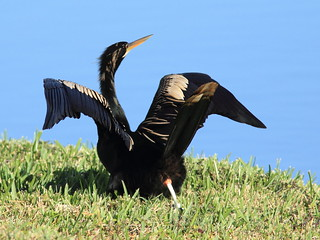 Anhinga evacuating 20120101 | by Kenneth Cole Schneider