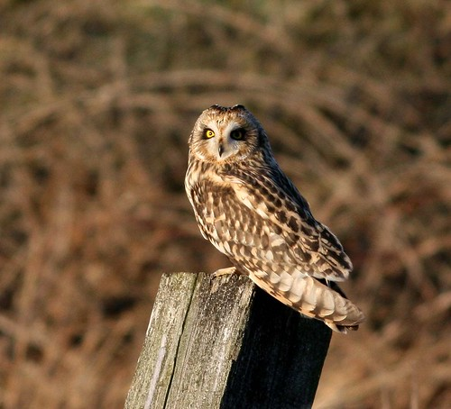 Short Eared Owl | by Hilary Chambers (way behind AGAIN)