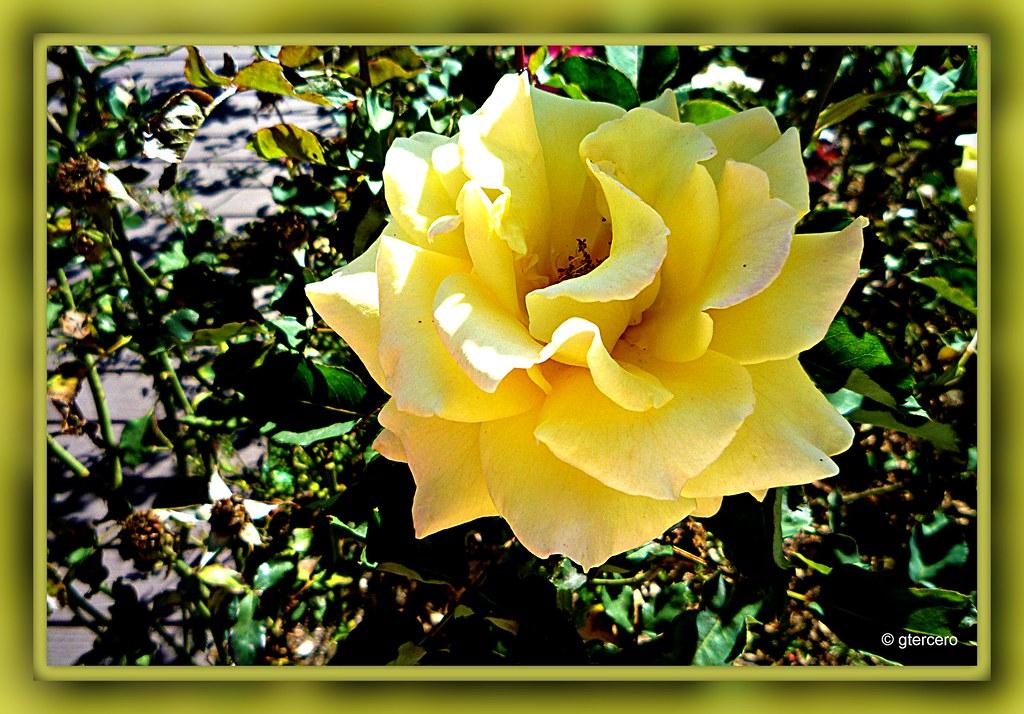 Rosa Amarillap1090125 Significado De Las Rosas Segú Flickr