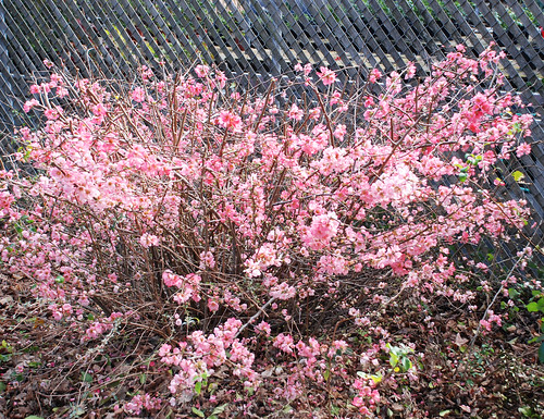 Chaenomeles x superba 'Pink Lady'   Flowering Quince ...
