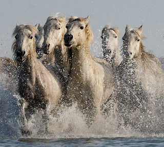 Five Camargue Horses Galloping through Water (2) | by John Hallam Images