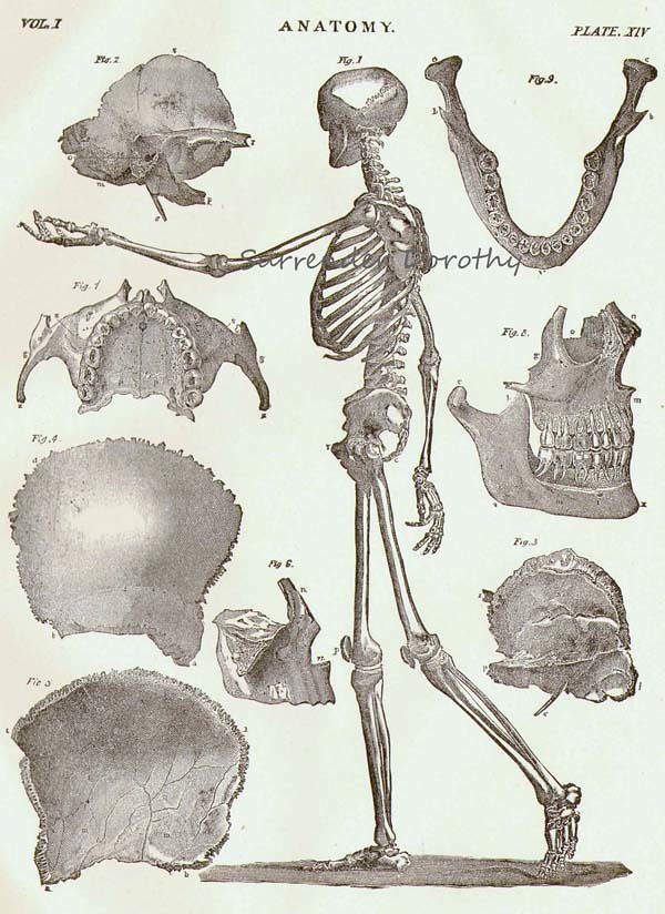 Human Anatomy Skeletal System Profile 1892 Surrendrdorothy Flickr