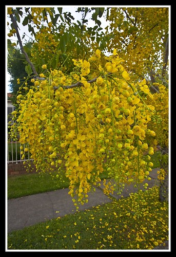 Yellow Flowering Tree-1= | by Sheba_Also 41,000 photos incl non public