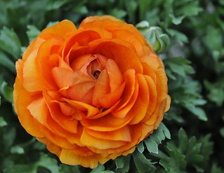 Orange ranunculus | by AJ Cook