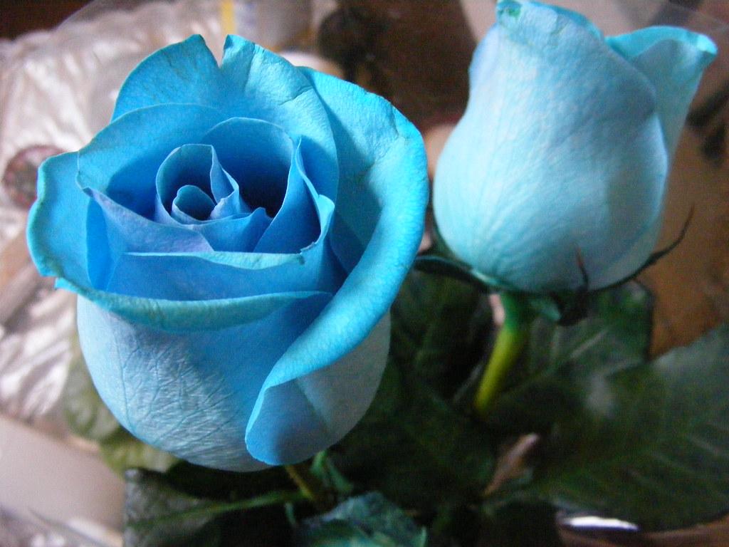 Mis Rosas Azules Las Rosas Más Hermosas Que He Recibido L Flickr