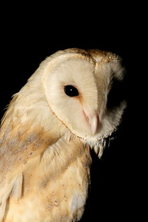 ShahJahanBarnOwl | by GrrlScientist