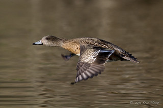 American Wigeon Fly By | by Eric.Vogt