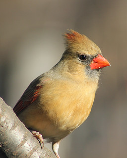 Female Cardinal | by Indiana Ivy Nature Photographer