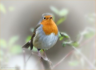 The Robin | by HocusFocusClick