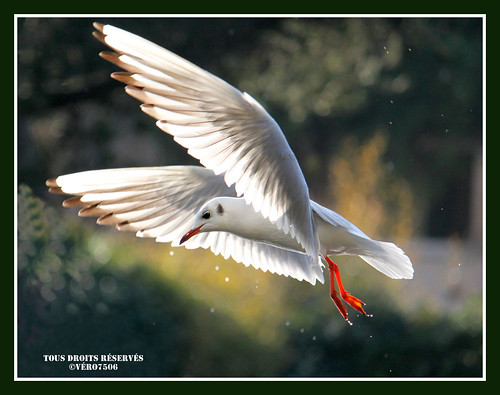 La Mouette rieuse ( black-headed gull) | by Vero7506