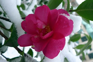Camellia in the snow | by Ruth and Dave