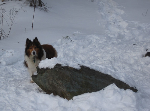 A Sheltie who loves the snow?!? #win² | by MTBradley