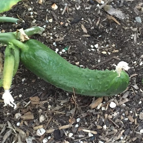 #soon #cucumber