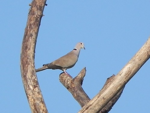 Eurasian Collared-Dove | by www.lirongertsman.com