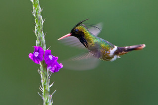 Black-crested Coquette | by Judd Patterson