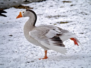 Gorgeous goose | by ~Roger~