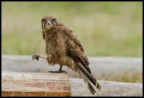 Can you stand on one leg?  (Brown Falcon) | by Janette & Jack,on and off
