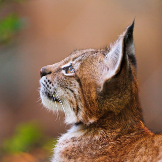 The young lynx looking upwards | by Tambako the Jaguar