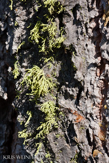 Tree Lichens | by guitar fish