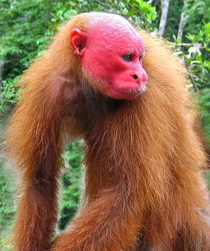 red faced uakari monkey this handsome guy lives in the. Black Bedroom Furniture Sets. Home Design Ideas