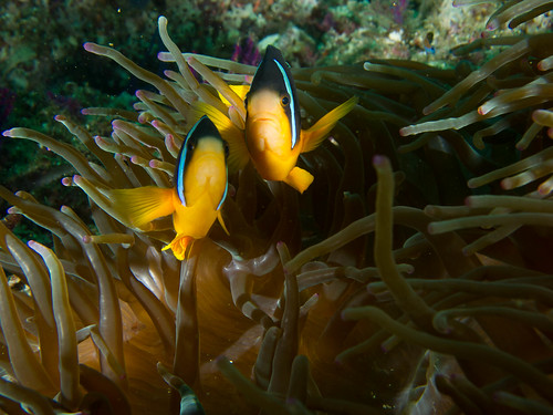 Anemonefish | by Joi