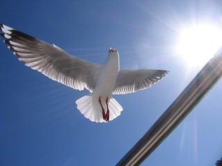 Seagull ( Silver Gull ) in full flight. | by sunnypicsoz.com-Geoff Childs.
