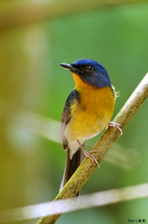 Hill Blue Flycatcher #2 | by Ken Goh thanks for 2 Million views