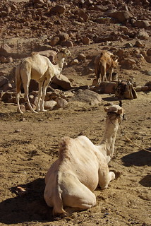 Camels - Sianai Desert | by The Hungry Cyclist