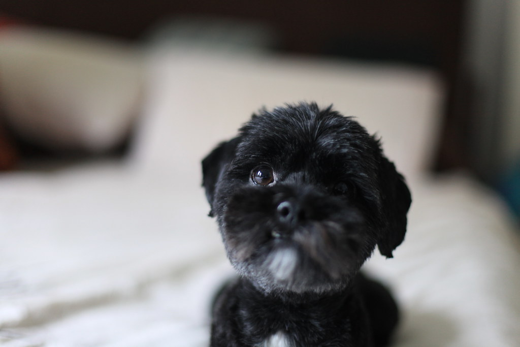 Jack Our Shih Poo Is There Some More Of This Chicken J Flickr