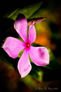 20120205 Catharanthus roseus (Madagascar Periwinkle) | by Degilbo on flickr