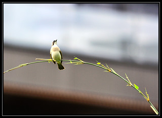 F_DSC_4724-白頭翁-Chinese Bulbul-竹枝-Bamboo-鳥-Bird-羽-Feather-翼-Wings-散景-Bokeh-士林-Shilin-台北市-Taipei City-台灣-Taiwan-中華民國-Rep of China-Nikon D90-Nikkor 300mm-TC-14E II | by May-margy
