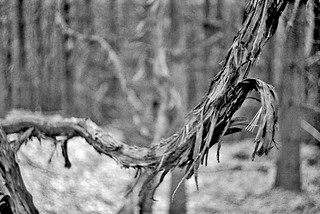 Vine in Black and White | by Fiddling Bob