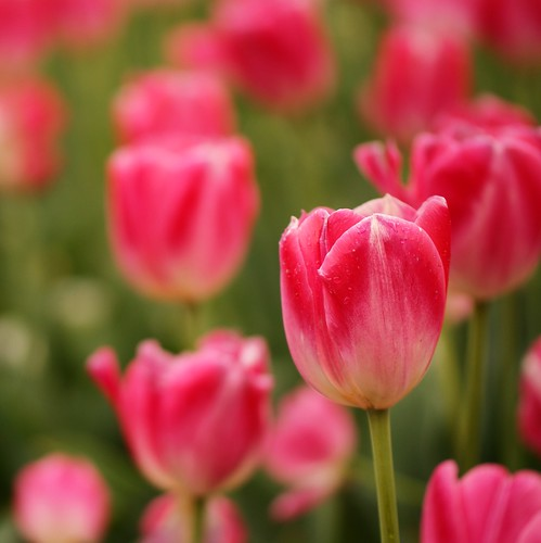 ~Pink Tulips~ | by j man.