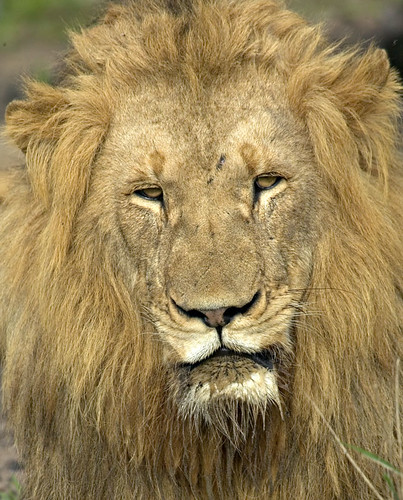 Phinda Lion Head | by mytmoss