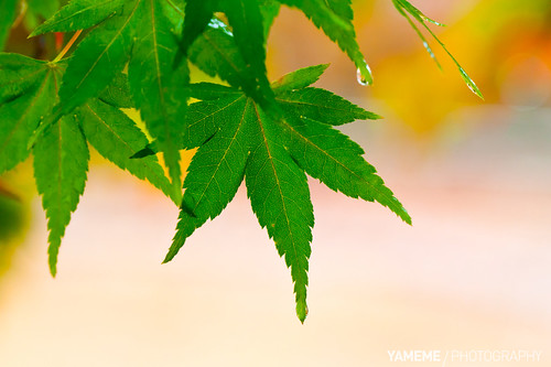 青楓 Green Maple, Taichung | by yameme